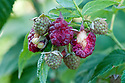 Birds find raspberries irresistible, especially summer-fruiting ones. Wasps and other insects are equally attracted to them.