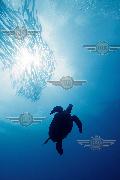 Sipadan island is known as one of the worlds top diving destinations. The abundance of turtles in particular is amazing, here one turtle swim under a school of Jackfish.