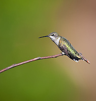 Female Ruby-Throated Hummingbird, perched on a branch