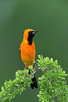 Hooded Oriole (Icterus cucullatus), male perched, Laredo, Webb County, South Texas, USA