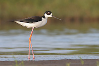 Black-necked Stilt - Himantopus mexicanus - Adult female