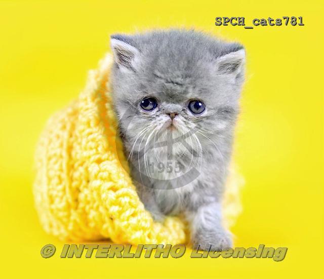 Xavier, ANIMALS, REALISTISCHE TIERE, ANIMALES REALISTICOS, cats, photos+++++,SPCHCATS781,#a#