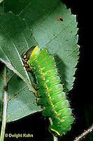 LE12-001x  Luna Moth - caterpillar feeding - Actias luna..
