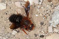 Mörtelbiene, Megachile sicula, Chalicodoma sicula, wall bee, mason bee, megachilid bee, Sizilien, Italien