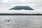 USA, Alaska, Sitka, a grey whale swims and feeds on krill in the Sitka Sound