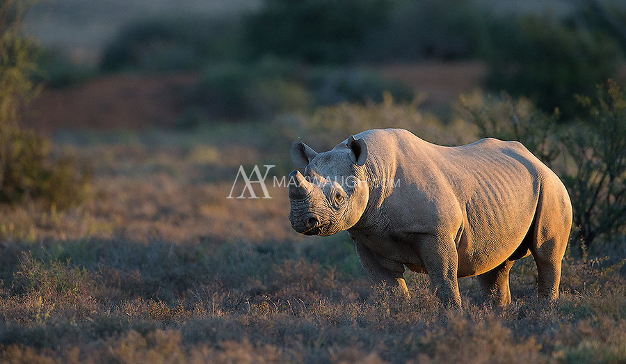 How thrilling to encounter a highly-endangered black rhino on foot.