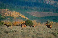 628700024 a small herd of elk cervus elaphus graze in a sagebrush covered field below the teton range and fall colored aspens in grand tetons national park wyoming