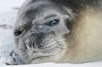 Southern Elephant Seal Mirounga leonina Length 2-3m, weight 400-850kg Massive seal. Male is up to four times larger than female, with distinctive proboscis. Breeds on Sub-Antarctic islands, notably South Georgia.