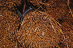 A083WA Reeds cut and stored under tarpaulin for thatching Suffolk England