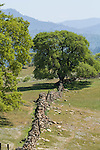 Stone walls separate historic cattle pastures in the Sierra Nevada Foothills of Mariposa County. Oaks in spring on the Pray Ranch.