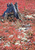 Blueberry bushes in their fall color surround a stump along with Lichens at the Kingston Plains in Alger County in Michigan's Upper Peninsula