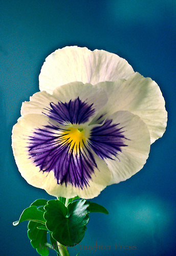 Close up of pansy