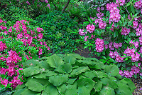 ORPTC_D219 - USA, Oregon, Portland, Crystal Springs Rhododendron Garden, Pink blossoms of azaleas and rhododendrons in bloom and large leaves of hosta.