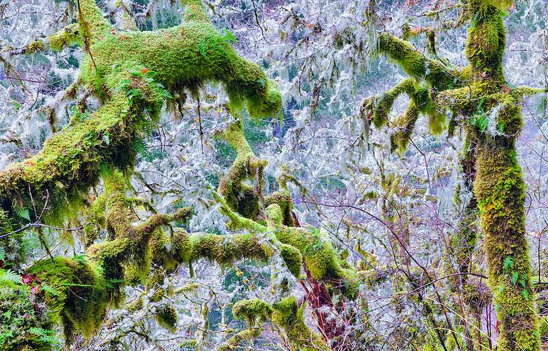 Several kinds of moss on trees   Eagle Creek Basin. Columbia River Gorge National Scenic Area, Oregon