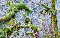 Several kinds of moss on trees   Eagle Creek Basin. Columbia River Gorge National Scenic Area, Oregon