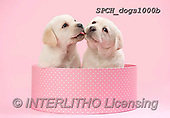 Xavier, ANIMALS, REALISTISCHE TIERE, ANIMALES REALISTICOS, dogs, photos+++++,SPCHDOGS1000B,#A#, EVERYDAY