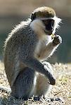 Vervet Monkey, Chlorocebus pygerythrus, feeding, Lake Awasa, Ethiopia, Africa