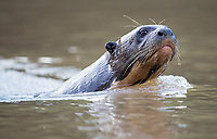 Once again, we had a number of opportunities to photograph giant otters in the Pantanal.
