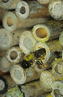 Mauerbiene, an hohlen Schilfhalmen, Schilfhalm an einer Insekten-Nisthilfe