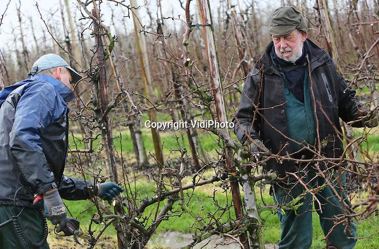 Foto: VidiPhoto<br /> <br /> DODEWAARD - Fruitteler Toon Vilier (blauwe pet) uit Dodewaard woensdag aan het werk in de stromende regen, samen met &eacute;&eacute;n van zijn werknemers. Ondanks de regenval gaat het werk gewoon door. In totaal moet zo'n 17 ha. fruit worden gesnoeid voordat het voorjaar aanbreekt. Vilier heeft 6 ha. appels, 9 ha. peren en 2 ha. pruimen. Lastig snoeien is het met het natte weer wel, omdat de accu's van de snoeimessen droog moeten blijven.