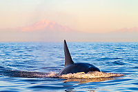 killer whale or orca, Orcinus orca, transient orca, surfacing at sunset with Mount Baker in background, Gulf Islands, British Columbia, Canada, Pacific Ocean