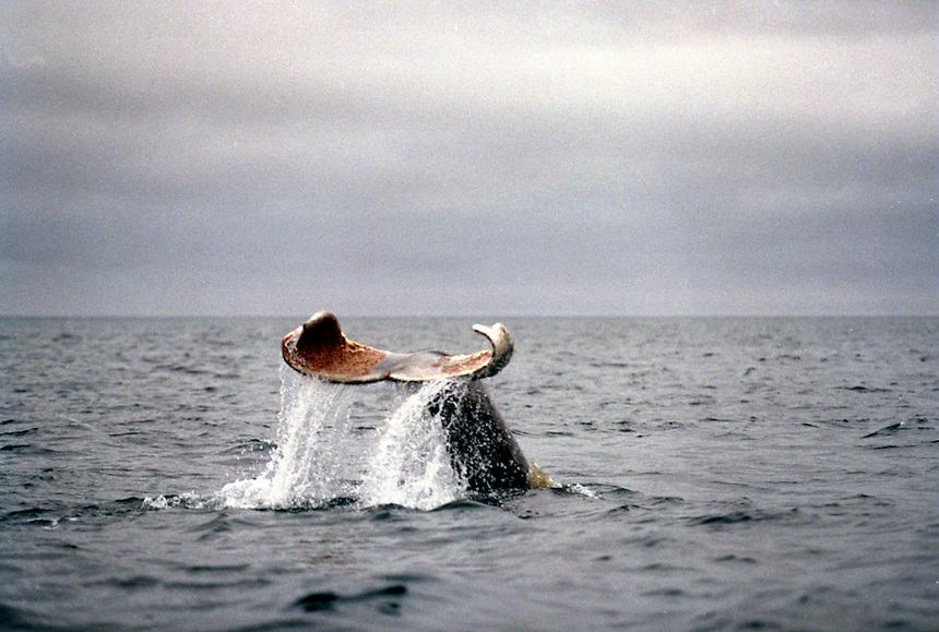 039078.AA.0820.warming1.kc--Bering Sea, Off Providenya, Russia--In the Bering Sea a whale shows his tail. The story deals with the enviromental issue of global warming throughout the region of Russia directly across the Bering Sea from Nome, Alaska. The story touches on the people their way of living, the rough economy and the extent they are effected by the slowly warming temperature as documented by scientists.  More Details To Come.