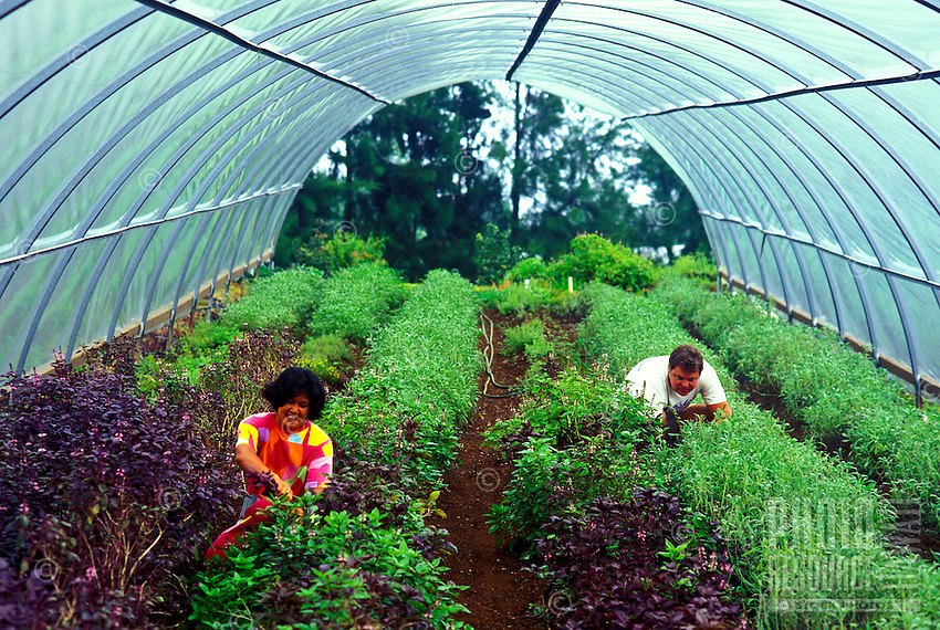 Tip and Penny Davis harvesting herbs on their farm along the Hamakua Coast, Big Island