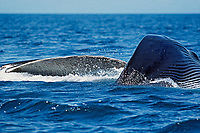 adult fin whale, Balaenoptera physalus, surface lunge feeding in the northern Sea of Cortez, Mexico, Pacific Ocean