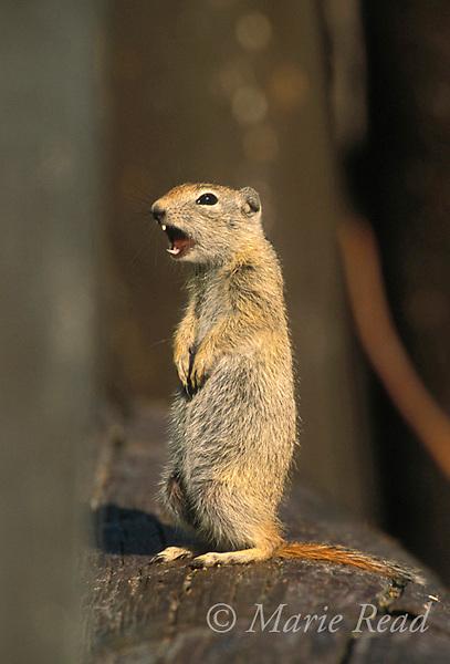 Belding's Ground Squirrel giving alarm call, (Spermophilus beldingi)<br /> Mono Lake County Park, California, USA<br /> Slide # M14-101