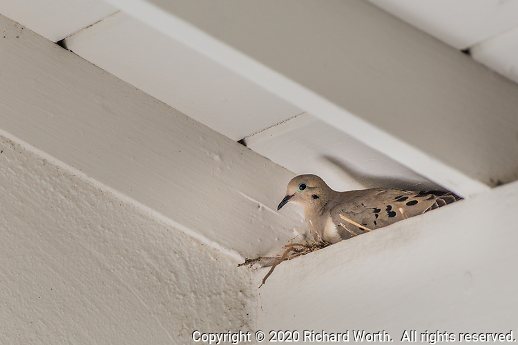 A Mourning dove sits on a small scattering of twigs and grass, its new nest in the corner of a covered front porch.