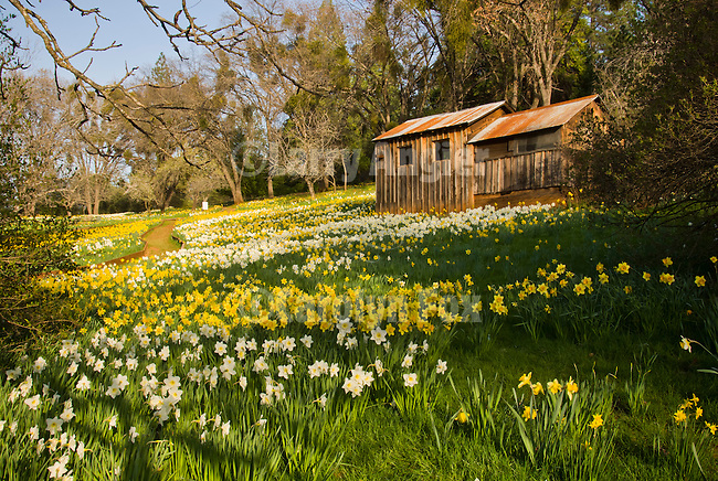 McLaughlin's Daffodil Hill at the peak of the daffodil bloom of spring, near Volcano, Amador County, Calif.