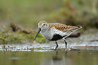 Adult Dunlin (Calidris alpina) in breeding (alternate) plumage. King County, Washington. April.