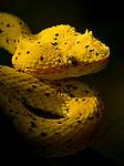 Eyelash Pit Viper (Bothriechis schlegelii), Costa Rica.