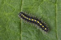 Schönbär, Raupe, Callimorpha dominula, Panaxia dominula, scarlet tiger moth, caterpillar, L'écaille marbrée, écaille rouge, Bärenspinner, Arctiidae, Arctiinae, erebid moths, erebid moth, woolly bears, woolly worms