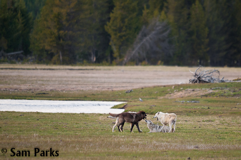 Wolf pack. Yellowstone National Park, Wyoming.