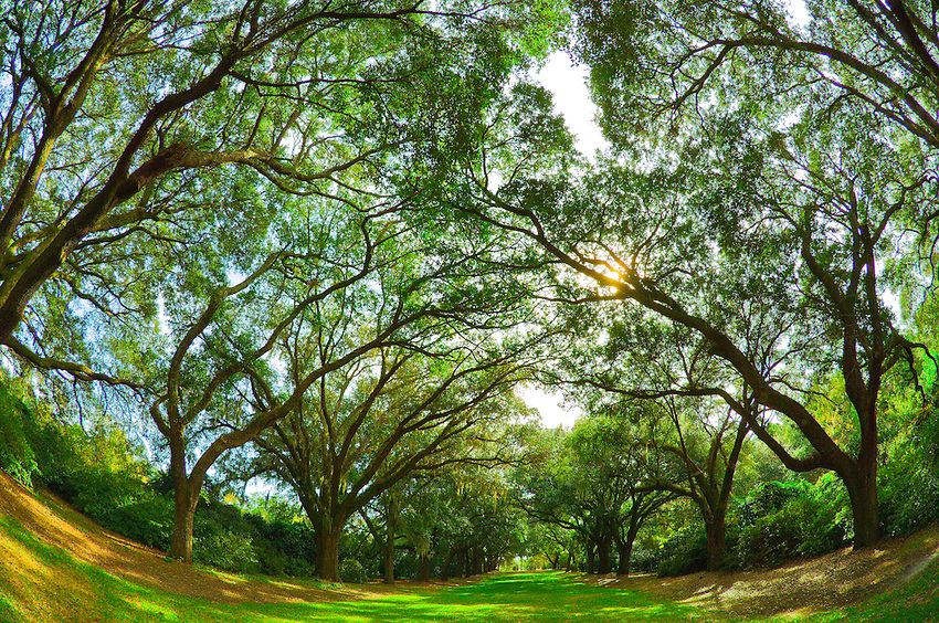 Live oak trees at Charles Towne Landing State Historic Site, Charleston, South Carolina