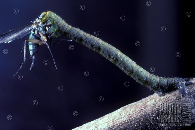 native Eupithecia niphoreas, a Killer Caterpillar eating native long-legged fly (Dolichopodidae sp.)