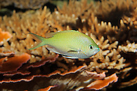 QX1150-D. Blue-green Chromis damselfish (Chromis viridis), aquarium photo.<br /> Photo Copyright &copy; Brandon Cole. All rights reserved worldwide.  www.brandoncole.com