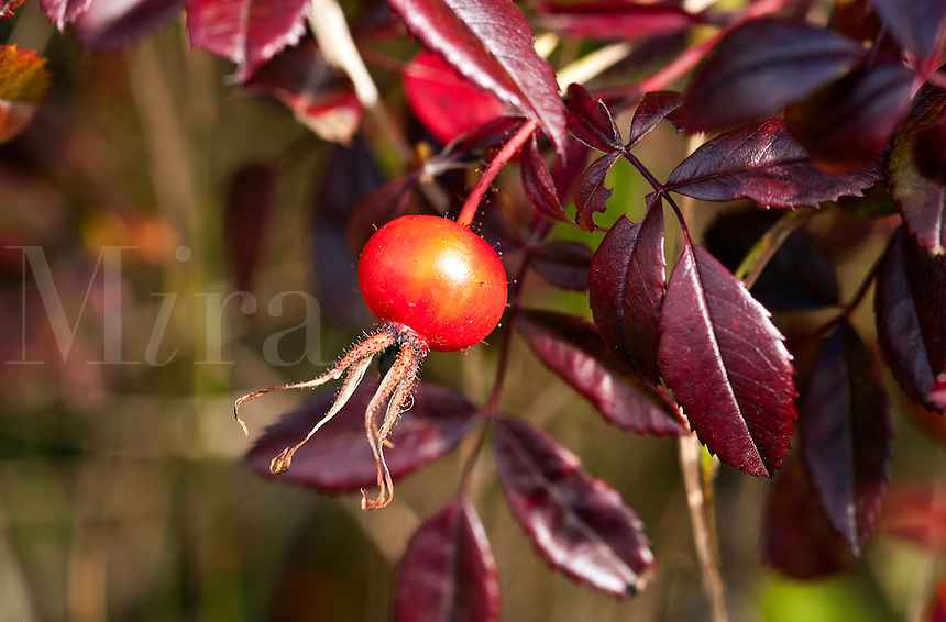 Rose hip detail, pomaceous fruit.