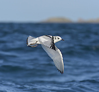 Kittiwake Rissa tridactyla L 38-42cm. A true seagull: non-breeding life spent entirely at sea. Sexes are similar. Adult has blue-grey back and upperwings with black wingtips; plumage is otherwise white. Bill is yellow; eye and legs are dark. In flight, wingtips look dipped in black ink. In winter, similar but head has grubby patches behind eye. Juvenile has black 'V' markings on upperwing; back and upperwing coverts are grey and note triangle of white on flight feathers, dark tip to tail, black half collar and dark markings on head; bill is dark. 1st winter is similar to juvenile but gradually loses dark half collar and black tail tip. Voice Utters diagnostic kittee-wake when nesting. Status Nests colonially on coastal cliff ledges but also dockside factories etc. Non-breeding period spent far out to sea.