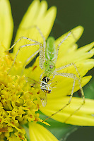 Green Lynx Spider, Peucetia viridans, adult on Golden Crownbeard (Verbesina encelioides)eating Hoover Fly,Willacy County, Rio Grande Valley, Texas, USA, June 2006