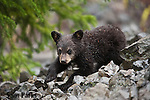 Young black bear cub on talus slope. Yellowstone National Park, Wyoming.