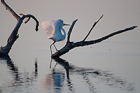 Great Egret (Ardea alba), , Pelican Island National Wildlife Refuge, Vero Beach,  Florida, US