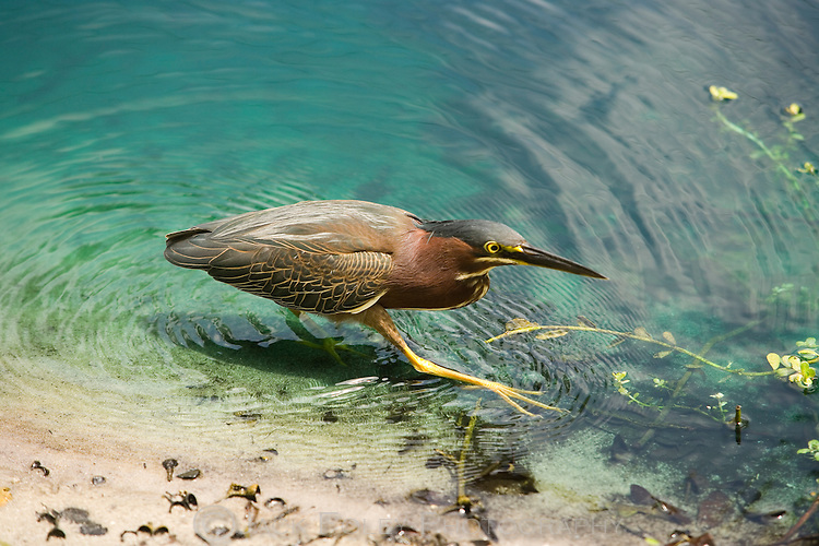 Green heron walking along a Forida canal looking for food.