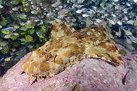 Banded Wobbegong Shark (Orectolobus halei). A recently described species originally thought to be the adult of the Ornate Wobbegong (Orectolobus ornatus). Fish Rock, South West Rocks, New South Wales, Australia.