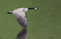 Canada geese would occasionally fly around Floating Island Lake.