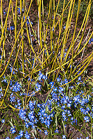 Cornus stolonifera 'Flaviramea'  yellow stems dogwood in later winter + Chionodoxa forbesii spring flowering bulb in blue bloom in March