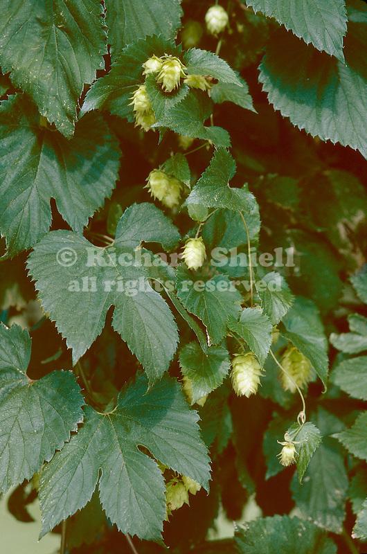 1286-CQ Humulus lupulus, Common Hop