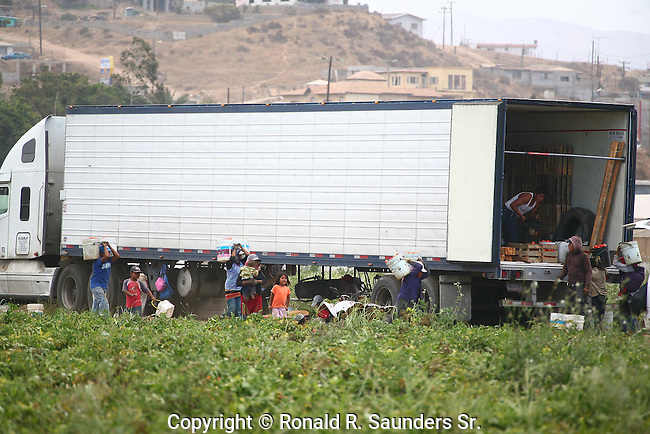 FAMILY FIELD WORKERS (including children) DELIVER PRODUCE to TRUCK for TRANSPORT of FIELD CROP