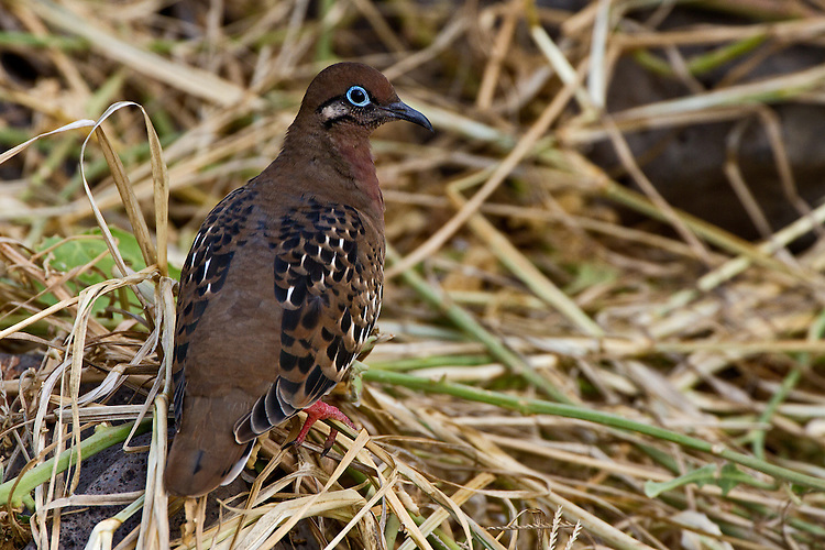 A Galapagos Dove sits on the straw-covered ground on Espanola Island showing off its striking bright-blue rimmed eye, mahogany throat and multi-shaded wings above its red feet. Endemic to the Galapagos the dove  is fairly common in the semi-open habitat of the Island.